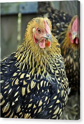 Golden Laced Wyandotte Chicken Closeup Canvas Print by Valerie Garner