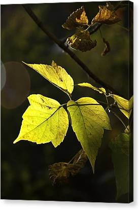 Golden Leaves Canvas Print by Craig T Burgwardt