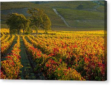 California Vineyard Canvas Print - Golden Light In The Valley by Bill Gallagher