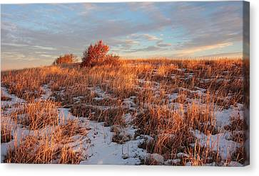 Golden Light On The Copper Beeches Canvas Print