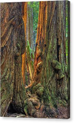 Golden Light Reaches The Grove Floor Muir Woods National Monument Late Winter Early Afternoon Canvas Print by Michael Mazaika