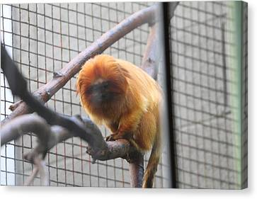 Golden Lion Tamarin - National Zoo - 01131 Canvas Print by DC Photographer