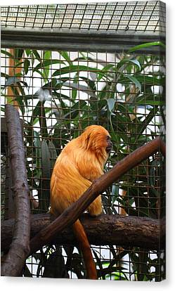 Golden Lion Tamarin - National Zoo - 011310 Canvas Print by DC Photographer