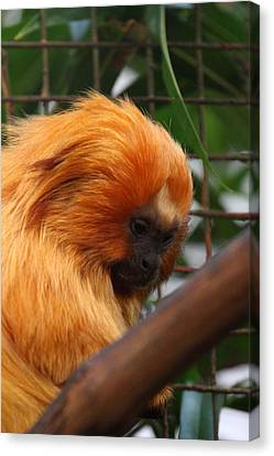 Lions Canvas Print - Golden Lion Tamarin - National Zoo - 011311 by DC Photographer