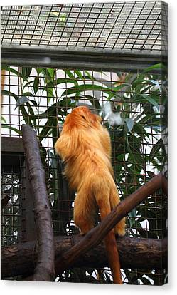 Golden Lion Tamarin - National Zoo - 01139 Canvas Print by DC Photographer