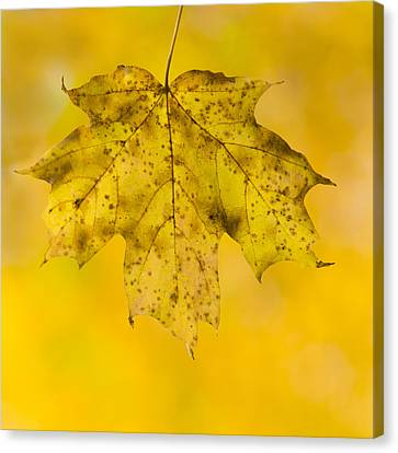 Canvas Print featuring the photograph Golden Maple Leaf by Sebastian Musial