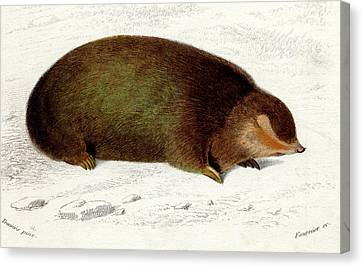 Golden Mole Canvas Print by Collection Abecasis