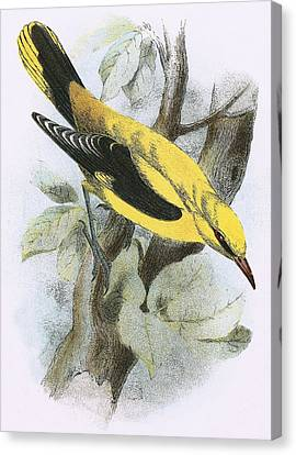 Golden Oriole Canvas Print by English School
