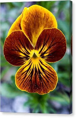Magnoliopsida Canvas Print - Golden Pansey by Douglas Barnett