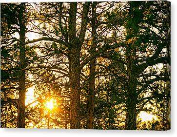 Golden Pine Tree Forest Canvas Print