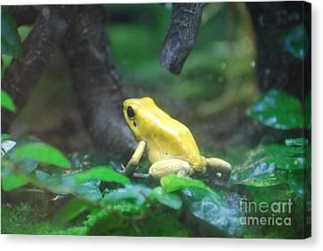 Golden Poison Frog Canvas Print by DejaVu Designs