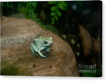 Golden Poison Frog Mint Green Morph Canvas Print by Mark Newman