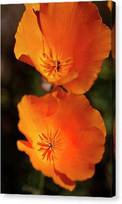 Golden Poppyies Canvas Print by Gilbert Artiaga