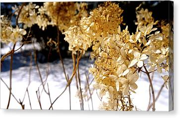 Golden Purity Canvas Print by Danielle  Broussard