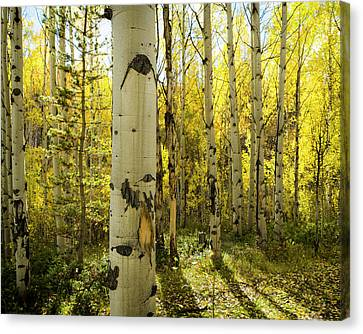 Golden Quaking Aspen In Full Fall Canvas Print by Maresa Pryor