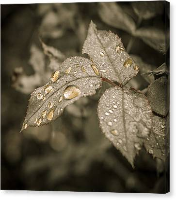Golden Raindrops Canvas Print by Carolyn Marshall