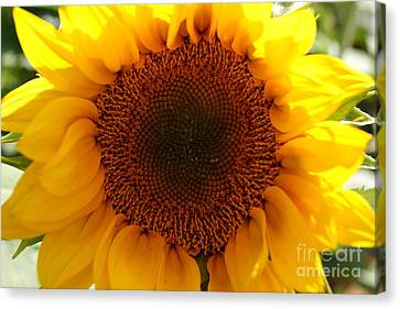 Golden Ratio Sunflower Canvas Print by Kerri Mortenson
