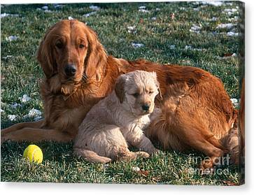 Golden Retriever And Puppy Canvas Print by William H. Mullins