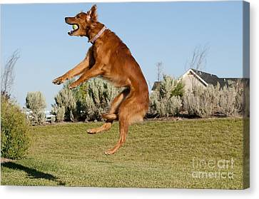 Golden Retriever Catching A Ball Canvas Print by William H. Mullins