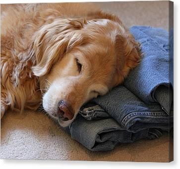 Golden Retriever Dog Forever On Blue Jeans Canvas Print by Jennie Marie Schell