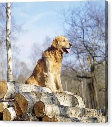 Golden Retrievers On Canvas Print - Golden Retriever Dog On Logs by John Daniels