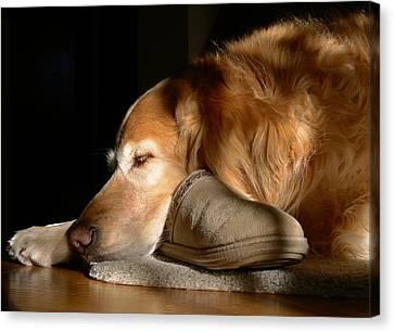 Golden Retriever Dog With Master's Slipper Canvas Print by Jennie Marie Schell