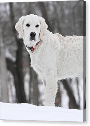 Golden Retriever In The Snow Canvas Print by Coby Cooper