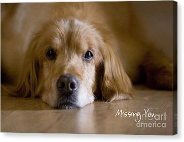 Golden Retriever Missing You Canvas Print by James BO  Insogna