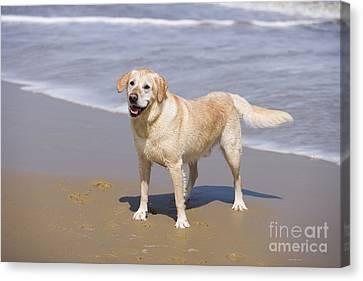 Golden Retrievers On Canvas Print - Golden Retriever On Beach by Geoff du Feu