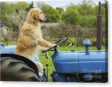 Golden Retriever On Tractor Canvas Print