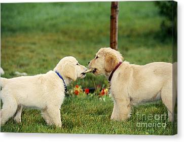 Dog At Play Canvas Print - Golden Retriever Puppies Tugging On Bone by Alan Carey