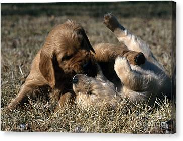 Dog At Play Canvas Print - Golden Retriever Puppies by William H. Mullins