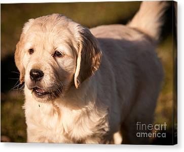 Golden Retriever Puppy Canvas Print by Chuck Spang