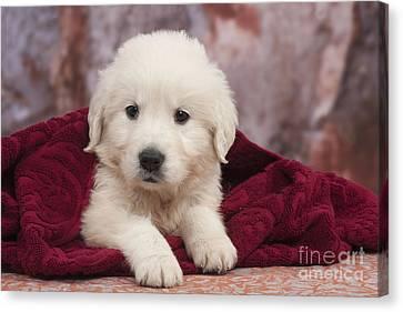 Golden Retriever Puppy Dog Canvas Print by Jean-Michel Labat