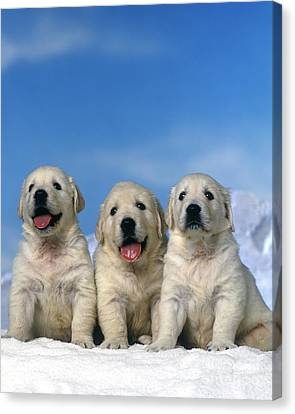 Golden Retriever Puppy Dogs Canvas Print by Jean-Michel Labat