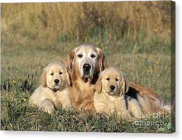 Golden Retriever With Puppies Canvas Print