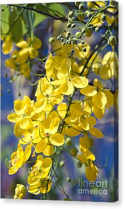 Golden Shower Tree - Cassia Fistula - Kula Maui Hawaii Canvas Print by Sharon Mau