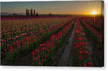 Golden Skagit Tulip Fields Canvas Print by Mike Reid