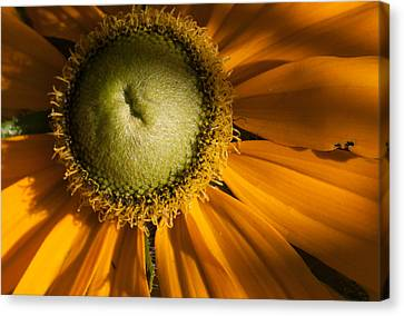 Golden Sunflower Canvas Print by Jeff Folger