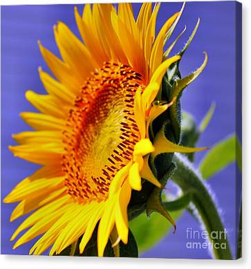 Golden Sunflower Canvas Print by Judy Palkimas