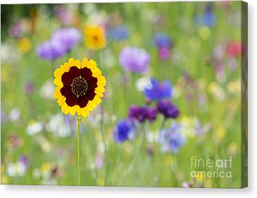 Golden Tickseed Canvas Print by Tim Gainey