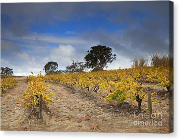 Golden Vines Canvas Print by Mike  Dawson
