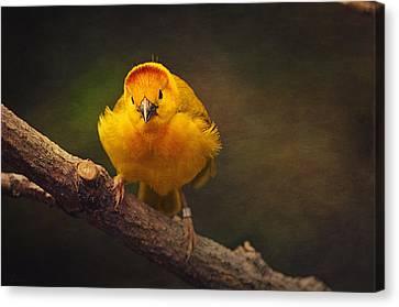 Golden Weaver Bird Canvas Print