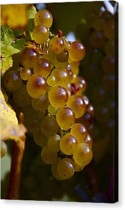 Golden Wine Grapes Canvas Print
