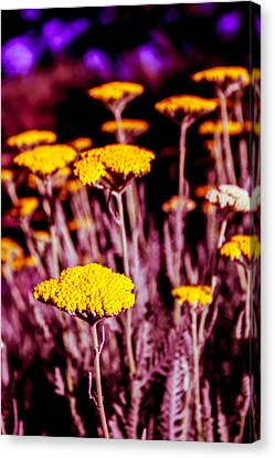 Canvas Print featuring the photograph Golden Yarrow On A Blood Moon Night by Dave Garner