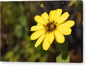 Golden Zinnia Canvas Print by Photographic Arts And Design Studio