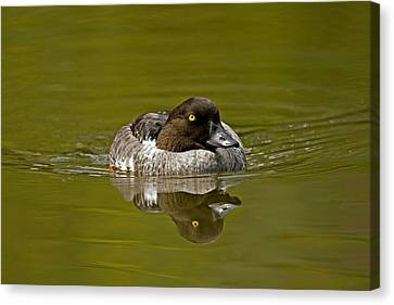 Goldeneye Canvas Print by Paul Scoullar