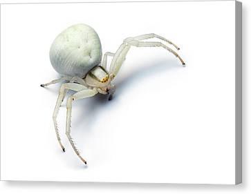 Goldenrod Crab Spider Canvas Print by Alex Hyde