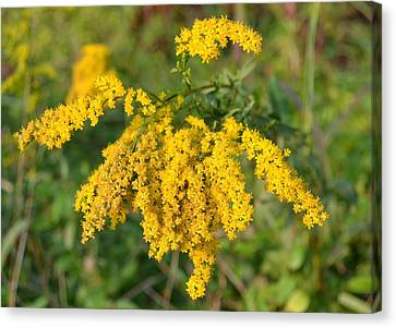Canvas Print featuring the photograph Goldenrod by Mary Zeman