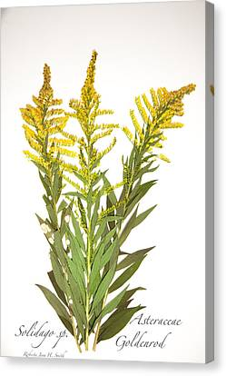 Goldenrod Canvas Print
